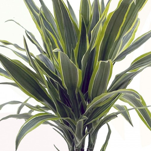 DRACAENA LEMON LIME DETALLE