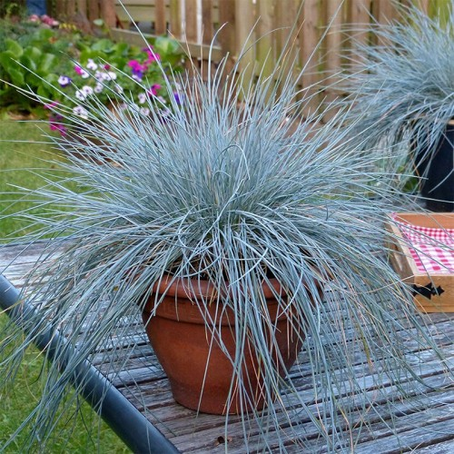 FESTUCA INTENSE BLUE