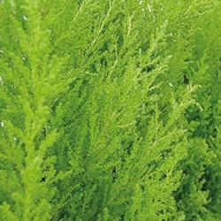 Cupressus macrocarpa wilma detalle
