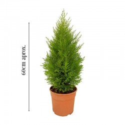 Cupressus macrocarpa wilma altura