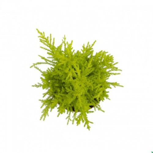 Cupressus macrocarpa wilma desde arriba