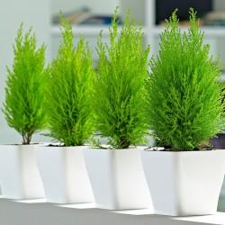 Cupressus macrocarpa wilma grupo