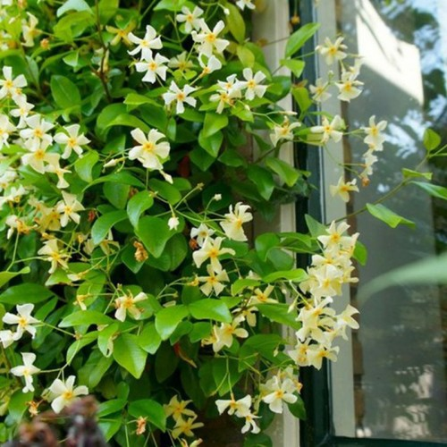 trachelospermum jasminoides detalle