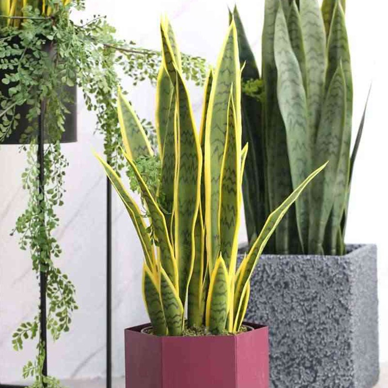 sansevieria decorativa