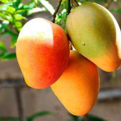 mango fruta