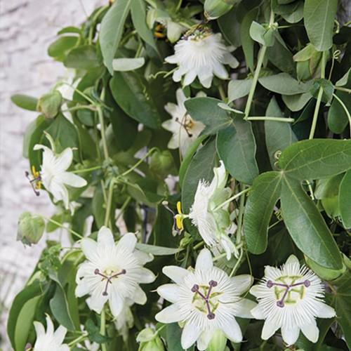 passiflora snow queen detalle