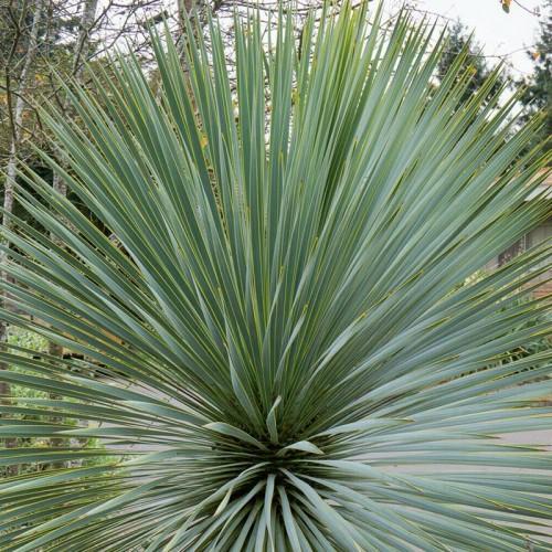 detalle yucca rostrata