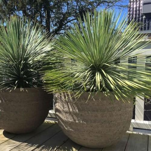 yucca rostrata en terraza