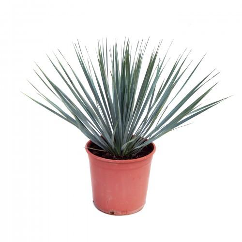 yucca rostrata c20