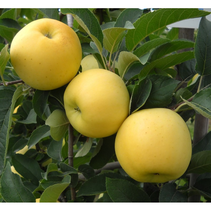 manzano fruta
