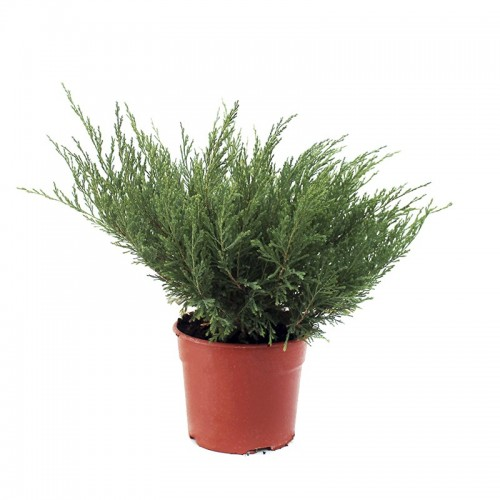 JUNIPERUS MEDIA MINT JULEP  maceta