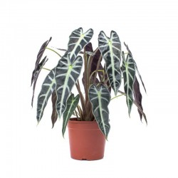 ALOCASIA POLLY C17