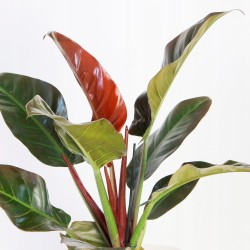 PHILODENDRON IMPERIAL RED DETALLE